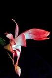 De rode Cactus van Kerstmis Stock Fotografie