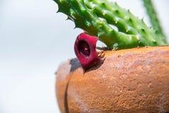 De rode cactusbloem stock afbeelding