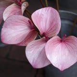 De rode Calla Moerasaronskelk, Marsh Calla, Wilde Calla, en de water-Aronskelk zijn een soort van bloeiende installatie in famili Royalty-vrije Stock Foto