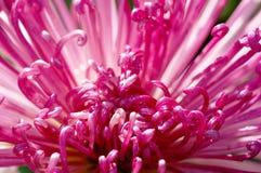 De rode chrysant van de close-up Royalty-vrije Stock Afbeeldingen