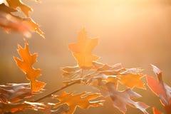 De rode close-up van de herfstbladeren Stock Foto's