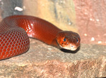 De rode cobra van het Spuwen Royalty-vrije Stock Afbeeldingen