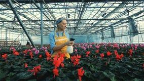 De rode cyclaam van bloemistwateren, die in potten in een serre groeien stock video