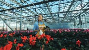 De rode cyclaam van bloemistwateren in potten, die in een serre werken stock videobeelden