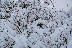 De rode die bessen ringen struiken met witte sneeuw en vorst worden behandeld Stock Foto