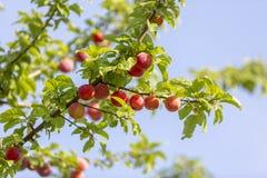 De rode die pruimen van de mirabelkers - Prunus-domesticasyriaca door zon wordt aangestoken, die op wilde boom groeien stock afbeeldingen