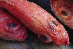 De rode die tandbaarsvissen, diagonaal in het kader, met reusachtige zwarte twee worden geplaatst zien andere vissen onder ogen Royalty-vrije Stock Fotografie