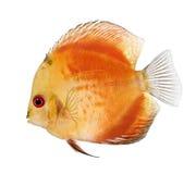 De Rode Discus van de brand (vissen) - aequifasciatu Symphysodon royalty-vrije stock foto