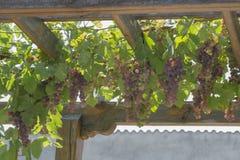 De rode druiven groeien op een houten pergola royalty-vrije stock foto
