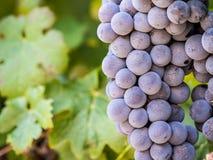 De rode druiven in wijngaard in Franschhoek, Zuid-Afrika, sluiten omhoog Stock Afbeelding