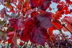 De rode druivenbladeren kwamen in een gouden-gekleurde de Herfstwijngaard i duidelijk uit royalty-vrije stock afbeelding