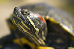 De rode Eared Macro van de Schildpad Stock Afbeelding