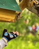 De rode eekhoorn bereikt voor de uitgestrekte hand Stock Afbeelding