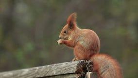 De rode eekhoorn eet stock footage