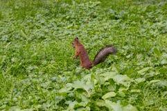 De rode eekhoorn eet de noten stock illustratie