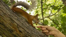 De rode eekhoorn eet noten van persoons` s handen royalty-vrije stock fotografie