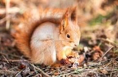 De rode eekhoorn houdt potenbuil Stock Foto's