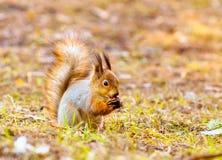 De rode eekhoorn houdt potennoot Royalty-vrije Stock Afbeelding