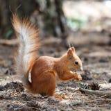De rode eekhoorn knaagt aan noten in het park stock afbeelding