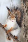 De rode eekhoorn met een dichtbegroeide staart zit op boom en eet noten in de sneeuw stock foto's