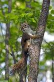 De Rode Eekhoorn van de baby Royalty-vrije Stock Fotografie