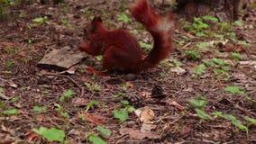 De rode eekhoorn vindt okkernoot