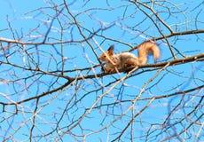 De rode eekhoorn zit hoog op een boomtak Stock Afbeelding