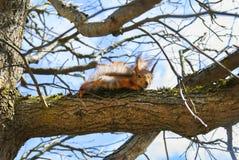 De rode Eekhoorn zit op een boom in de lente bij zonnige dag Stock Foto