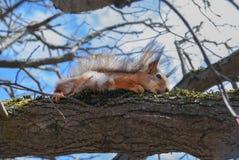 De rode Eekhoorn zit op een boom in de lente bij zonnige dag Stock Afbeelding
