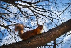 De rode Eekhoorn zit op een boom in de lente bij zonnige dag Royalty-vrije Stock Fotografie