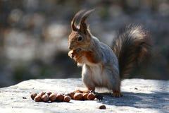 De rode eekhoornzitting op een rots en eet noten Stock Afbeelding