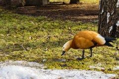 De rode eend eet het eerste de lente groene gras naast de resterende de wintersneeuw stock foto's
