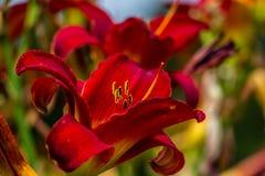 De rode en gele bloem van de daglelie Royalty-vrije Stock Afbeeldingen