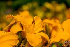 De rode en gele bloem van de daglelie Stock Fotografie