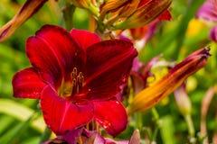 De rode en gele bloem van de daglelie Stock Foto
