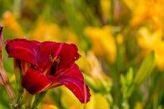 De rode en gele bloem van de daglelie Royalty-vrije Stock Fotografie