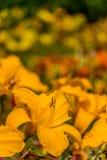 De rode en gele bloem van de daglelie Royalty-vrije Stock Foto's