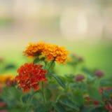 De rode en gele bloemen kunnen voor achtergrond gebruiken Royalty-vrije Stock Afbeeldingen
