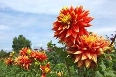 De rode en gele dahlia bloeit omhoog dicht Stock Afbeelding