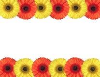De rode en gele gerberabloemen leiden tot een kader op wit Royalty-vrije Stock Fotografie