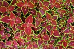 De Rode en groene bladeren van geschilderde netel - siernetel royalty-vrije stock afbeelding