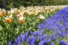 De rode en oranje tulpen combineren prachtig met de gemeenschappelijke druivenhyacint Muscari royalty-vrije stock fotografie