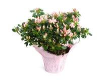 Azalea in Pot op Witte Achtergrond wordt geïsoleerde die Royalty-vrije Stock Fotografie