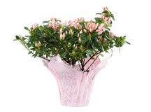 Azalea in Pot op Witte Achtergrond wordt geïsoleerdt die Royalty-vrije Stock Fotografie