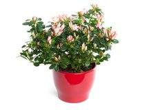 Azalea in Pot op Witte Achtergrond wordt geïsoleerde die Royalty-vrije Stock Foto