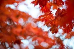 De rode esdoorn doorbladert Stock Afbeeldingen