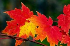 De rode esdoornbladeren zijn trillend tijdens de daling. Stock Afbeeldingen