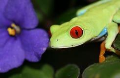 De rode Eyed Kikker van de Boom Stock Afbeeldingen