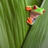 De rode eyed nieuwsgierige dierlijke groene achtergrond van de boomkikker stock foto