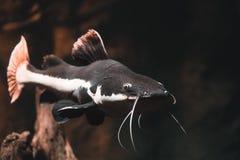 De rode foto van staartbagre stock afbeelding